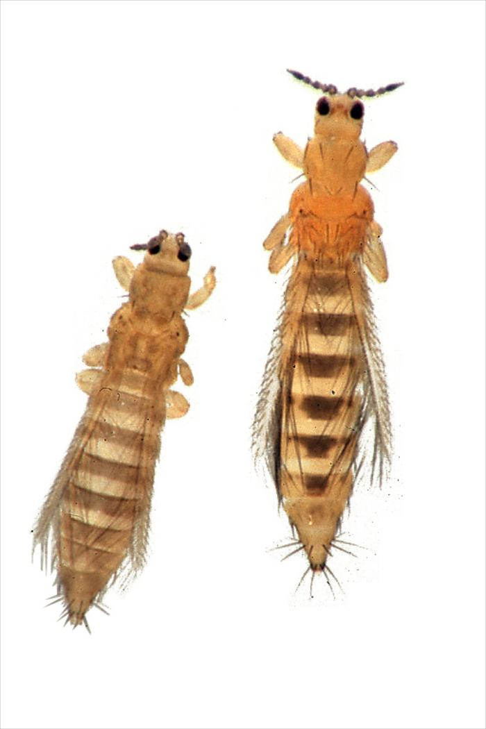 Thrips tabaci (lijevo), Frankliniella occidentalis (desno)