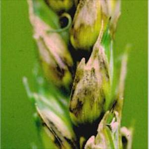 Smeđa pjegavost pljevice - Stagnospora nodorum (Septoria nodorum)