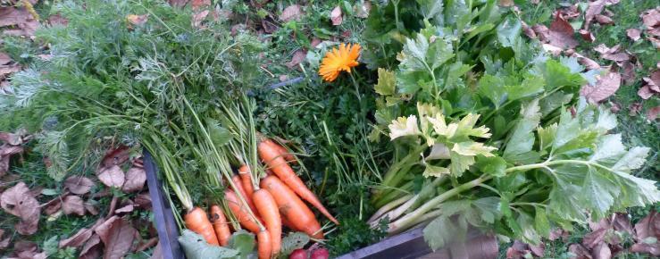 Alternaria i Septoria na korjenastom povrću - Poljoprivredni